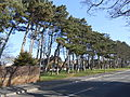 Trees on Kirklake Road, Formby.JPG