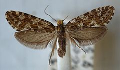 Triaxomera caucasiella