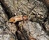 Trichoferus pallidus MHNT.jpg