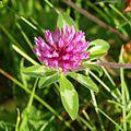Trifolium-pratense ZIMGP1775-qcrop-1k2.jpg