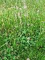 Trifolium pratense habit1 (10733673593).jpg