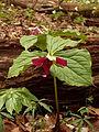 Trillium erectum, red form, 2015-05-01, Trillium Trail, 03.jpg