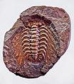 Trilobites - Solenopeltis buchi buchi.JPG