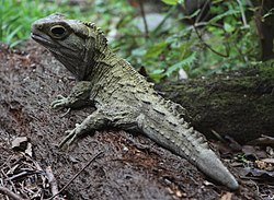 Tuatara, Mount Bruce National Wildlife Centre, New Zealand 06.JPG
