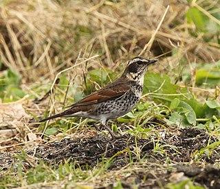 Dusky thrush species of bird