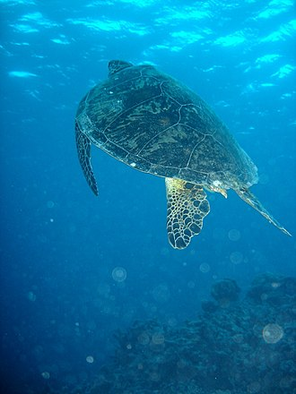 Great Barrier Reef - A green sea turtle on the Great Barrier Reef