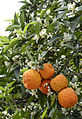 Turunç - Citrus aurantium 02.JPG