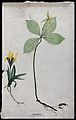 Two entire flowering plants, a yellow crocus (Crocus species Wellcome V0043932.jpg