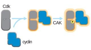 CDK-activating kinase