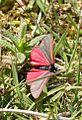 Tyria jacobaeae-02 (xndr).jpg