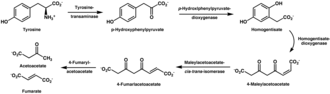 Tyrosine - The decomposition of tyrosine to acetoacetate and fumarate.  Two dioxygenases are necessary for the decomposition path.  The end products can then enter into the citric acid cycle.
