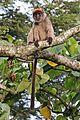 Ugandan red colobus (Procolobus tephrosceles).jpg