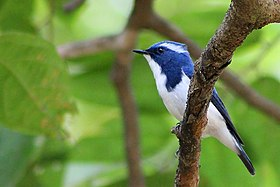 Ultramarine Flycatcher (male).jpg