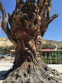 Un arbre sculpté à Matala, Crète.JPG