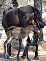 Una Mula recién nacida en VALDESERRILLAS, Benagéber (Valencia).jpg