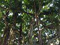 Under the Banyan Tree (6740206525).jpg