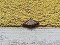 Unidentified-butterfly-20190610-145358.jpg