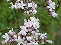 Valeriana officinalis (Valerianaceae) flowers.JPG