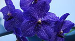 Vanda pachara delight.JPG
