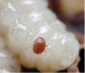 Drone (bee) - Varroa mite on a honey bee drone larva