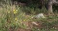 Verbascum sinuatum, Sète.jpg