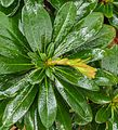 Verregende knop van Euphorbia amygdaloides var. robbiae 02.jpg