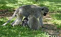Vervet Monkeys (Chlorocebus pygerythrus) (47069556752).jpg