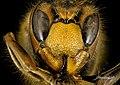 Vespa crabro, f, side2, denmark 2016-01-08-13.29 (24091127210).jpg
