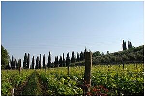 A Vineyard in the Italian wine region of Valpo...