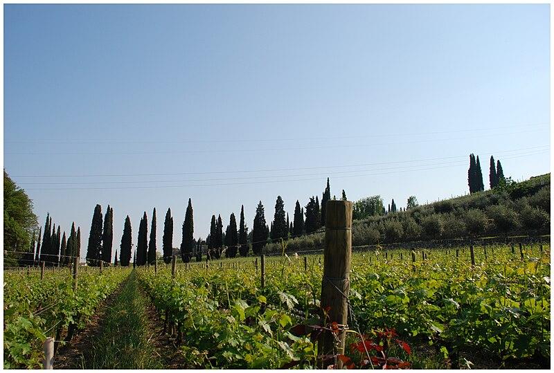 File:Vigne in Valpolicella.jpg