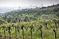 Vineyards in Döbling 04.jpg