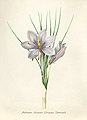 Vintage Flower illustration by Pierre-Joseph Redouté, digitally enhanced by rawpixel 36.jpg