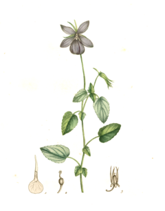 Viola cornuta L. Illustration.png