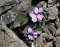 Viola flettii (Fletts violet) (527808602).jpg