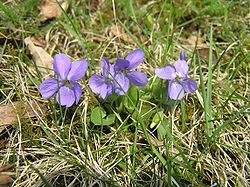 Viola hirta2.JPG