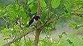 Violet-backed Starling (Cinnyricinclus leucogaster) (6005784926).jpg