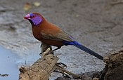Violet-eared waxbill, Uraeginthus granatinus, at Pilanesberg National Park, Northwest Province, South Africa (28037408514).jpg