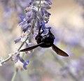 Violet Carpenter Bee Xylocopa Violacea 1 (3822800325).jpg