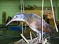 Virginia rail specimen (Sault C) 4.JPG