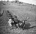 Vožnja gnoja pri Sv. Petru pri Turjaku 1964.jpg