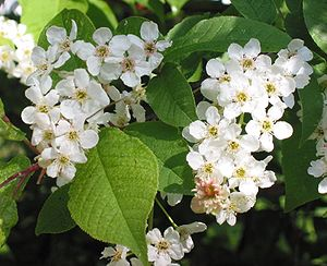 Prunus padus - Bird cherry flowers