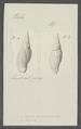 Voluta costellata - - Print - Iconographia Zoologica - Special Collections University of Amsterdam - UBAINV0274 087 04 0043.tif