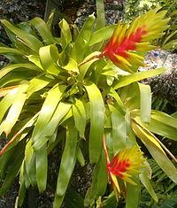 Vriesea carinata BotGardBln07122011A