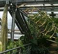 Vriesea tuerckheimii BotGardBln07122011C.jpg
