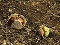 Vruchten van kastanje (Aesculus) 02.JPG