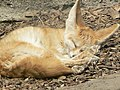 Vulpes zerda mexico zoo.jpg
