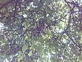 Walnut tree 011.jpg