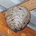 Wasp nest in Finland.jpg