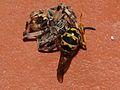 Wasp vs Spider Fight (2786000281).jpg