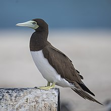 Blue Footed Booby Wikivisually